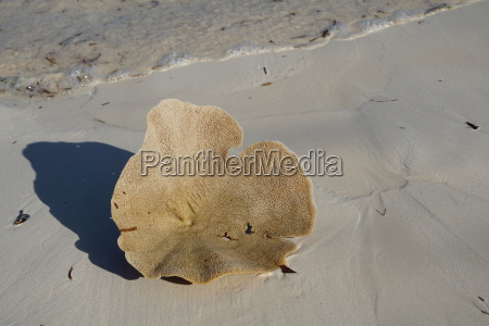 sponge washed ashore by the indian