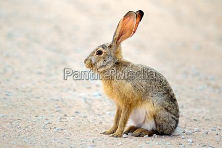 alert scrub hare