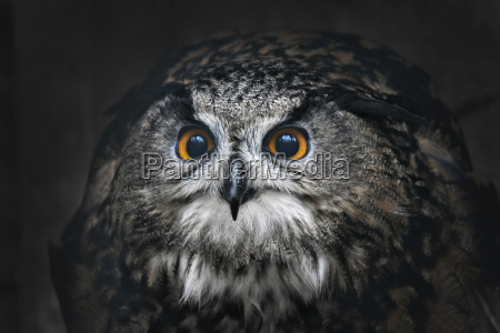 portrait of eagle owl bubo bubo