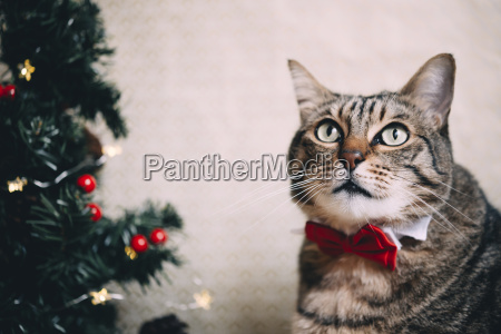 portrait of tabby cat with collar