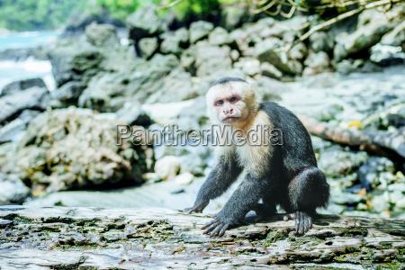 costa rica manuel antonio monkey on