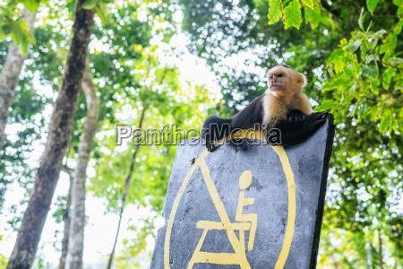 costa rica manuel antonio monkey sitting
