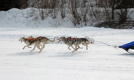 dog huskies husky polar dogs racing