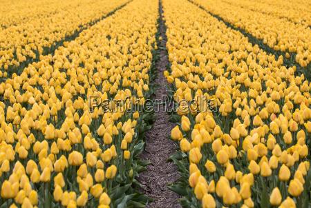 yellow tulips fields of the bollenstreek