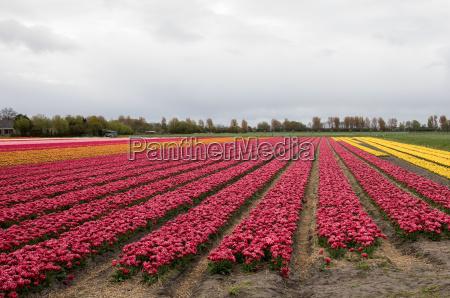 tulip fields in the bollenstreek south