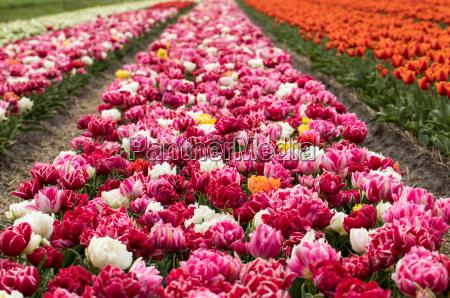 tulip fields of the bollenstreek south