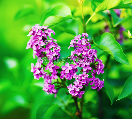 spring lilac blooms