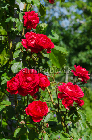 beautiful red roses in the garden