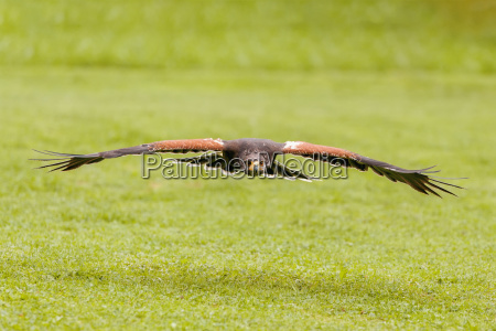 trained bird falcon flying in nature