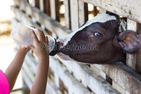 baby cow feeding on milk bottle