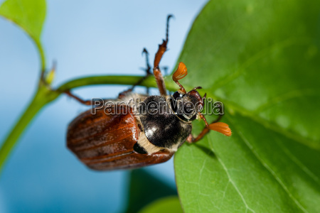 cockchafer crawling on green leaves