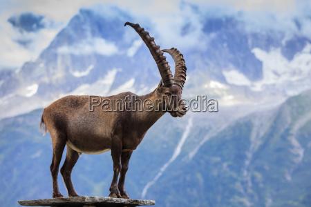 ibex range of mont blanc france