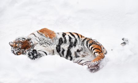 siberian tiger playing in white winter