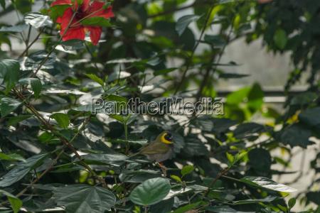 kubafink is sitting in the bush