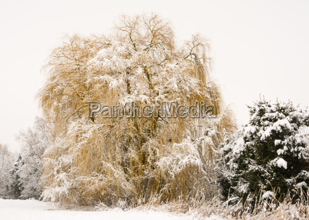frosted weeping willow tree