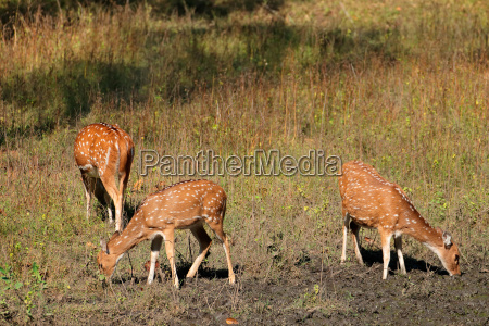 spotted deer in natural habitat