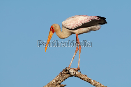 yellow billed stork on a branch