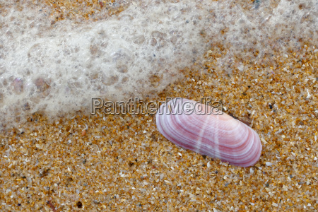 pink shell on the beach at