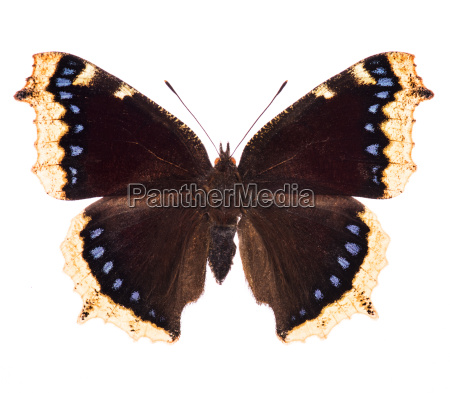 camberwell beauty butterfly isolated on white