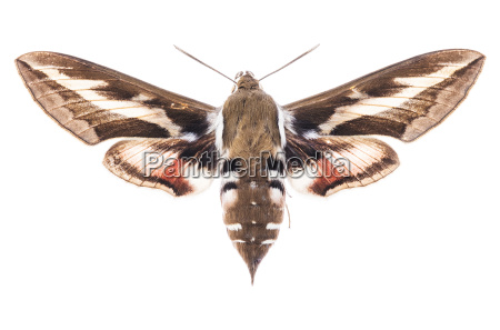 bedstraw hawk moth isolated on white