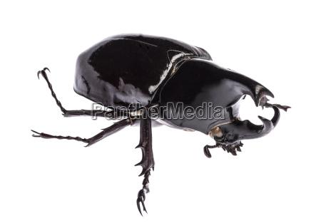 rhinoceros beetle xylotrupes gideon sumatrensis isolated