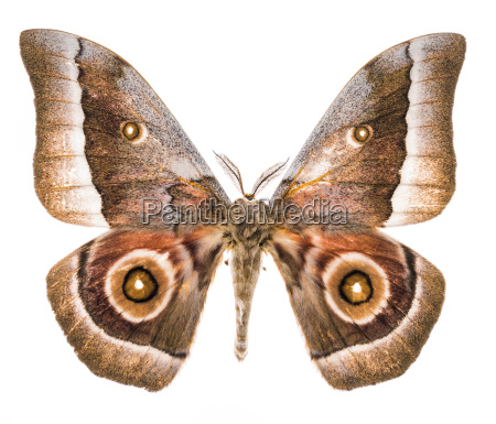 emperor moth moth isolated on white