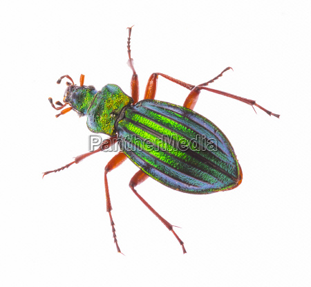 golden ground beetle carabus auronitens isolated