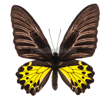 troides helena birdwing tropical butterfly isolated