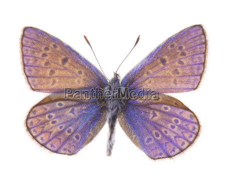 common blue butterfly isolated on white