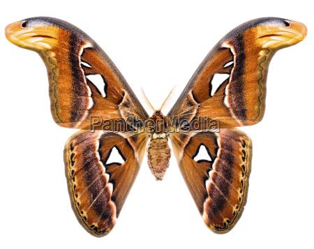 attacus atlas giant moth of indonesia