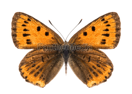 female large copper butterfly isolated