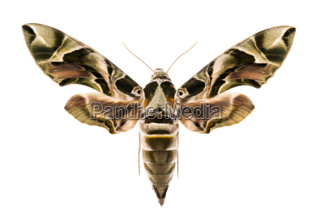 oleander hawk moth isolated on white