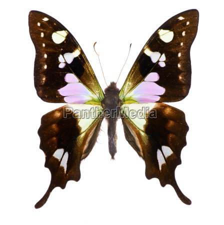 purple spotted swallowtail isolated