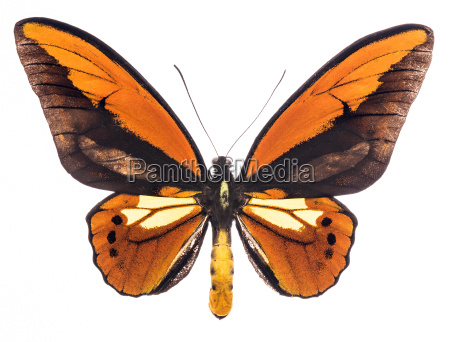 ornithoptera croesus tropical butterfly isolated