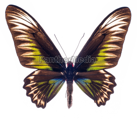 rajah brookes birdwing isolated on white