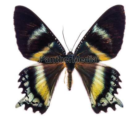 alcides orontes tropical butterfly isolated