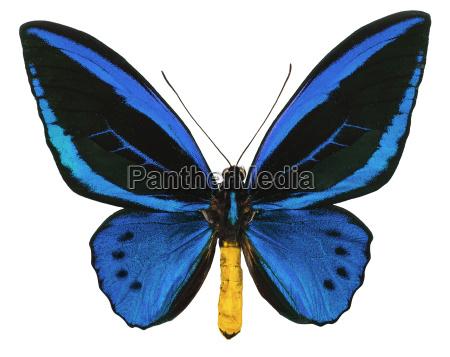 common bluebottle isolated