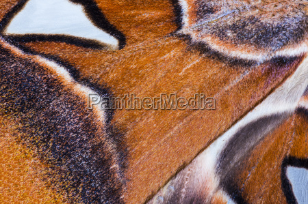 attacus atlas wing background