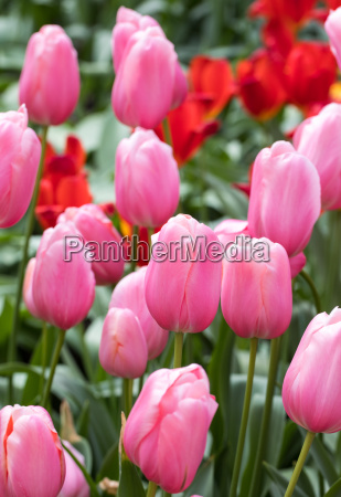 pink tulips flowers blooming in a