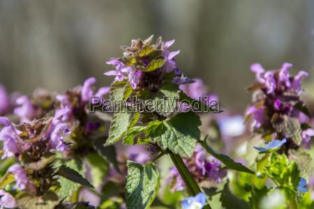 meadow violet spring flower