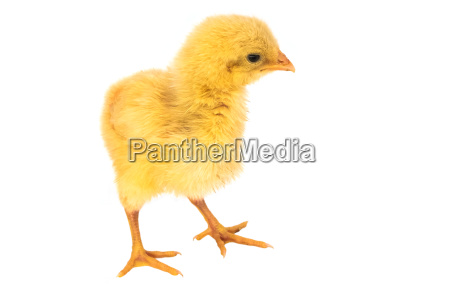 fluffy chick isolated