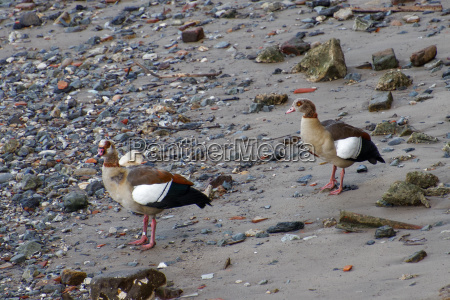 egyptian geese on the south bank