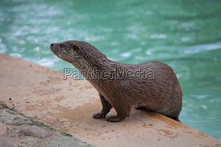 otter by the pool