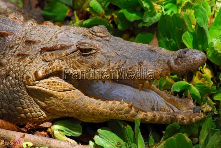 nile crocodile crocodylus niloticus escapes its