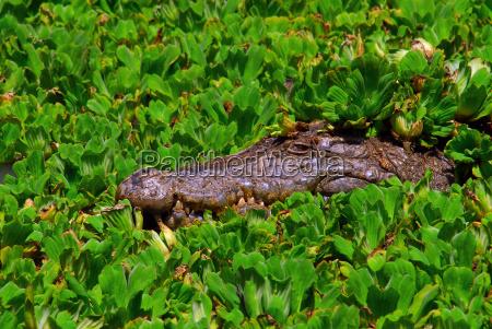 wait waiting danger animal reptile fauna