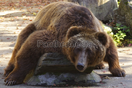 animal mammal bear animals zoo lie