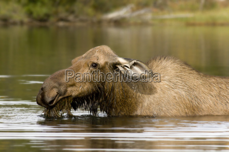 waters american animal mammal fauna animals