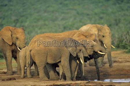animal mammal africa elephant animals mammals