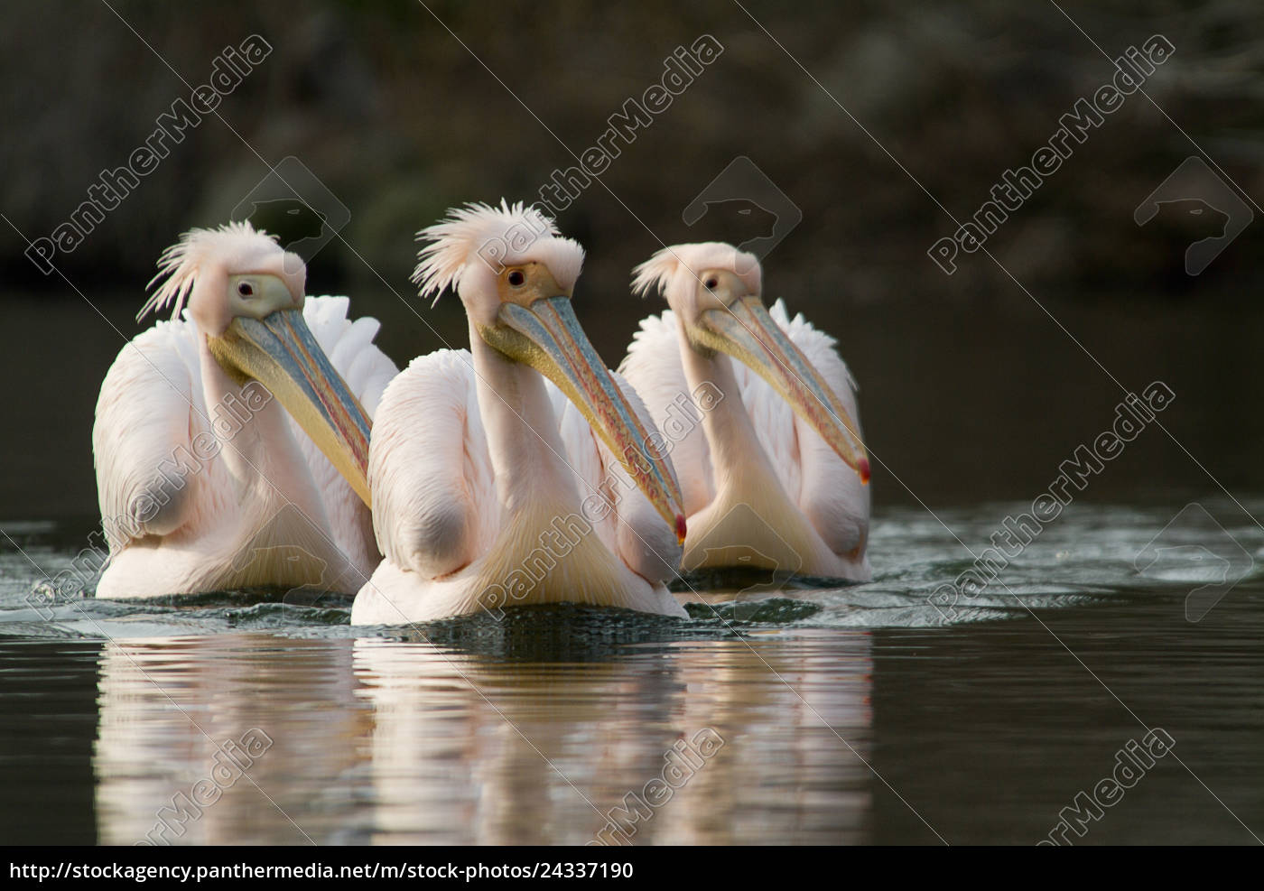 3, white, pelicans, (pelecanus, onocrotalus), swim - 24337190