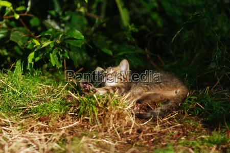 animal mammal fauna animals cats lie
